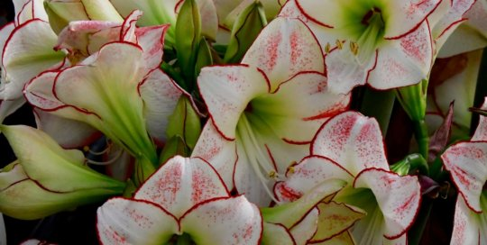 These gorgeous, patterned Amaryllis blooms can be found along the conservatory path.