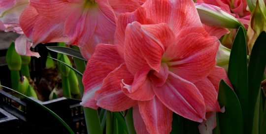A sign of the holiday season, colorful Amaryllis blooms line the conservatory planting beds.