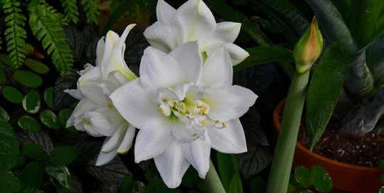 Crisp white Amaryllis blooms make a statement against the deep green shades of the conservatory.