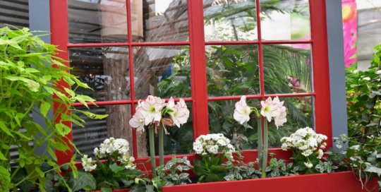 A playful window box displays Amaryllis blooms and variegated leaves.