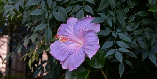 A stunning lavender hibiscus bloom demands attention among dark green foliage.