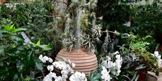 "In another holiday-themed display, Tillandsia air plant ""ornaments"" were draped on our tree in the Gardeners Show House."