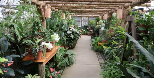 A seasonal walk through the Gardeners Show House featuring a number of white and pink Amaryllis flowers.