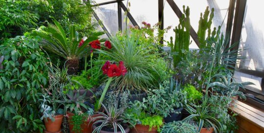 A collection of container plants--including amaryllis, succulents and cacti--soaking in sunlight on the conservatory balcony.