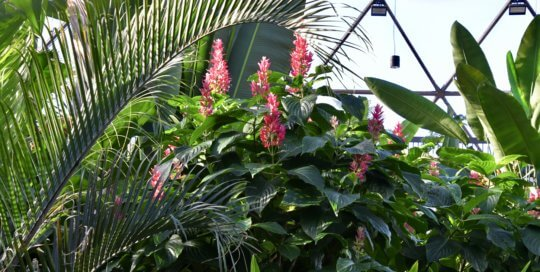 The pink blooms from Megaskepasma erythrochlamys take center stage in the conservatory.