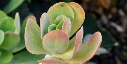 Kalanchoe luciae 'Flapjack' displays its multicolored pattern and unique, stacked leaves.