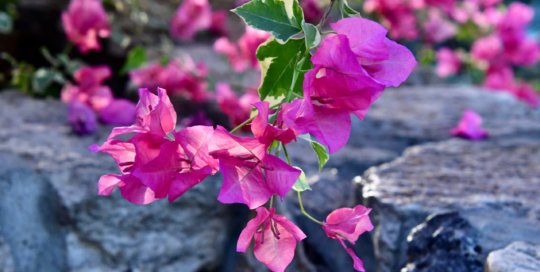 Sun-soaked Raspberry Ice Bougainvillea looks gorgeous atop the conservatory's waterfall.