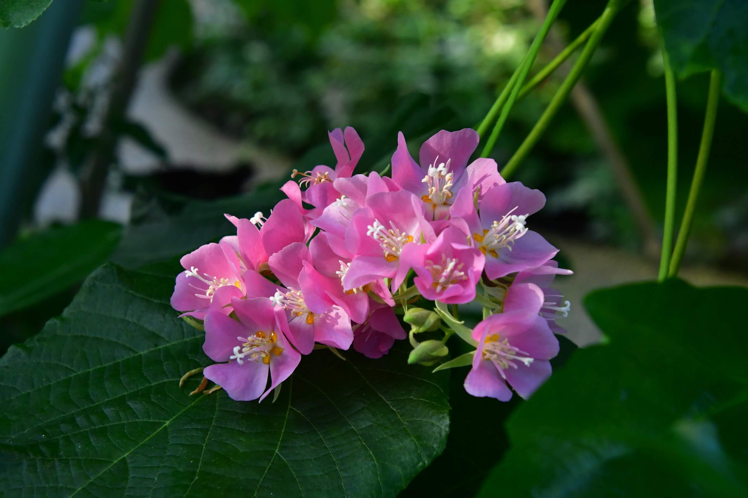 Dombeya burgessiae 'Seminole' stuns with bright pink flowers against the conservatory greenery.
