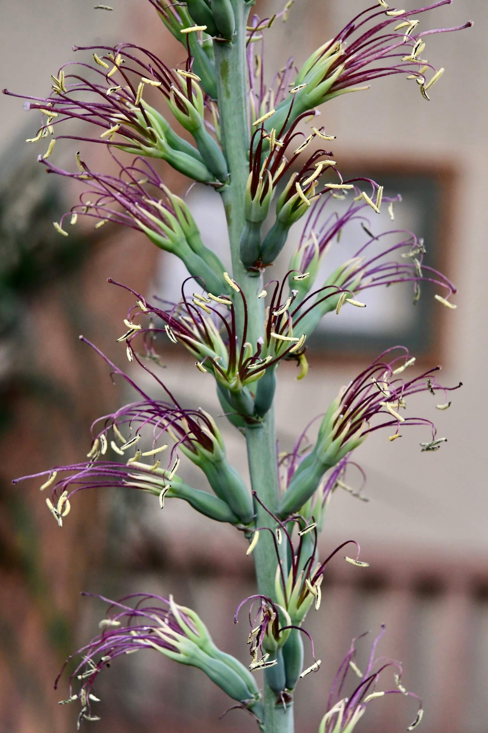 Deep purples and lime greens make up this inflorescence from Managave 'Spotify' in the conservatory's desert garden.