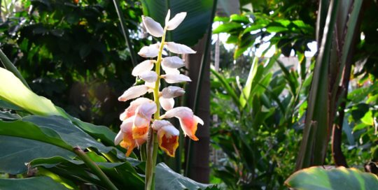 A relative of shell ginger (A. zerumbet), look for these striking blooms from this Alpinia sp. plant near the North Gallery entrance.
