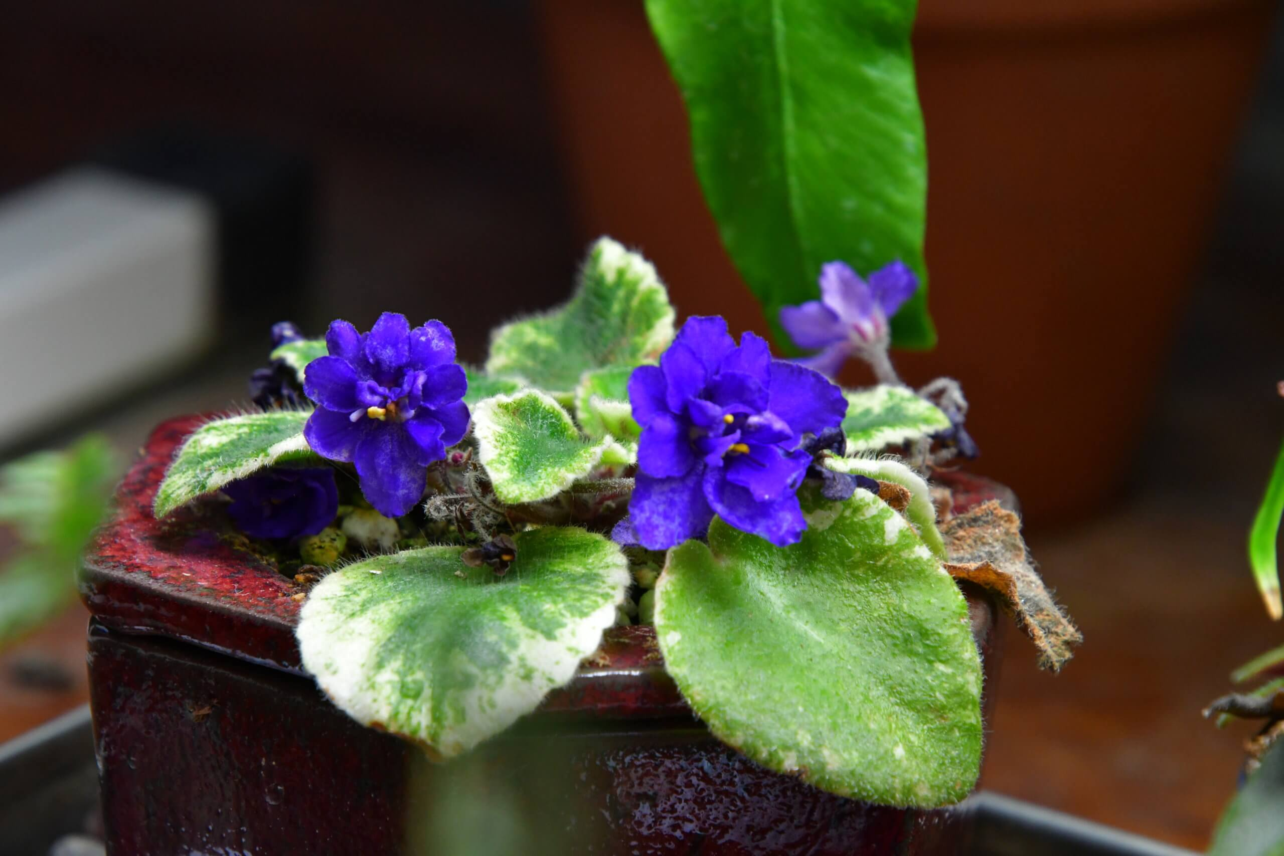 This African violet's deep indigo hues pop against its green, furry leaves.