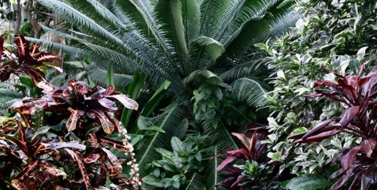 Dioon spinulosum, or giant dioon, stands tall along the conservatory path.