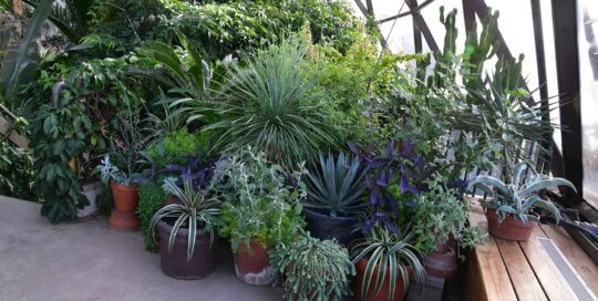 A collection of Mangave and cactus absorb the sunlight on the conservatory balcony.