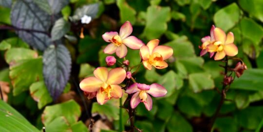 Small but brightly colored orchids captured attention along the conservatory path.