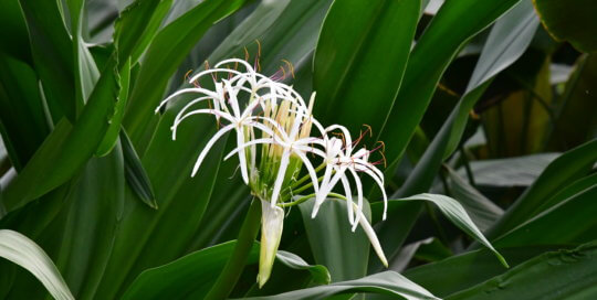 These Giant Crinum Lily blooms resembled fireworks in the conservatory.