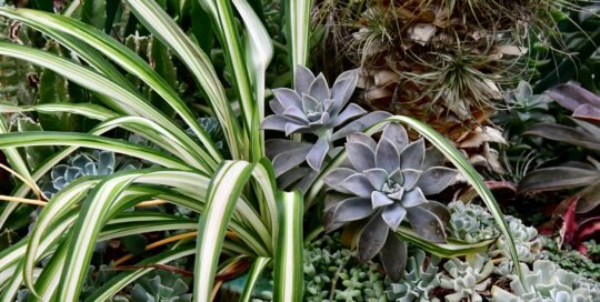 An intricate display of succulents and air plants in the conservatory's desert garden.