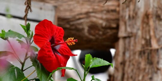 A punch of red from this hibiscus flower adds a splash of color to the Gardeners Show House.