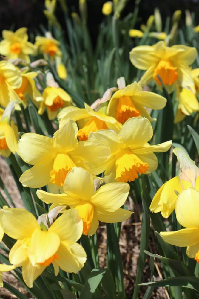 A group of daffodils soak in the sunshine in the Wells Fargo Rose Garden.