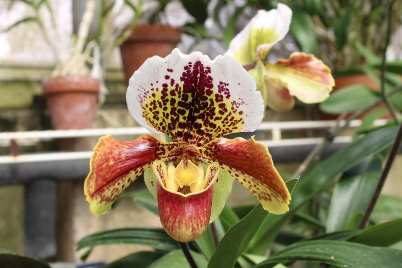 Bold colors and patterns stand out on this orchid in the Gardeners Show House.