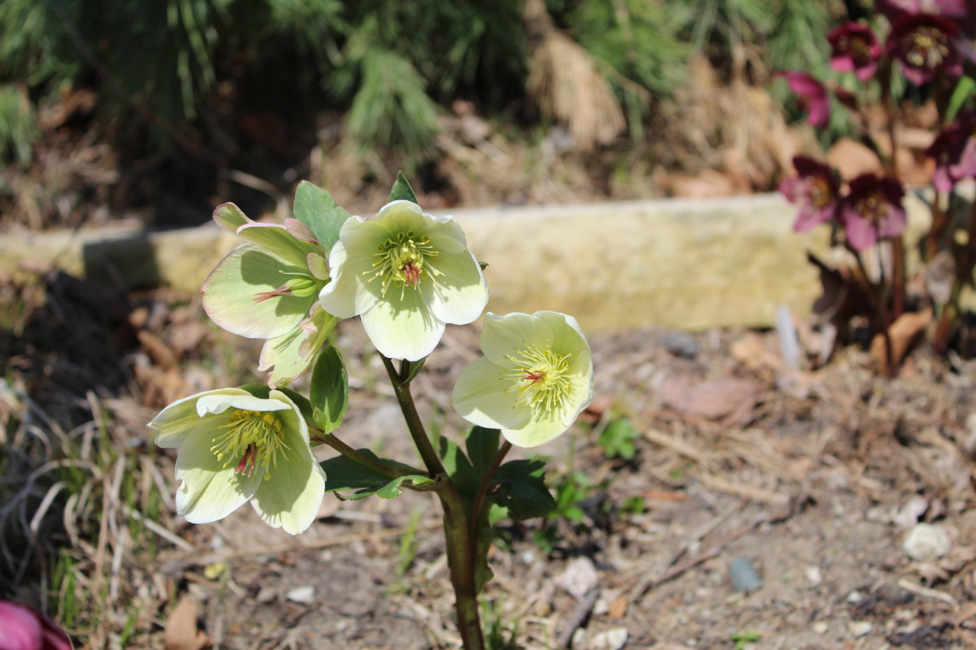 Hellebores abound along the hillside garden's walking path in early April.