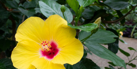 Our Chatty Cathy™ hibiscus blooms are as bright as ever in the conservatory.