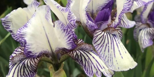 'Spiderweb' Iris blooms get their name from the intricate purple designs.