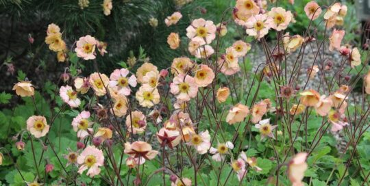 Geum Cocktail™ 'Mai Tai' flowers speckle the Rutledge Conifer Garden with peach-colored blooms.