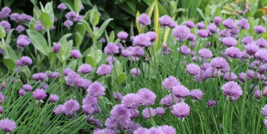 Beautiful purple chive flowers bloom in the Wells Fargo Rose Garden and the Koehn Garden this spring.
