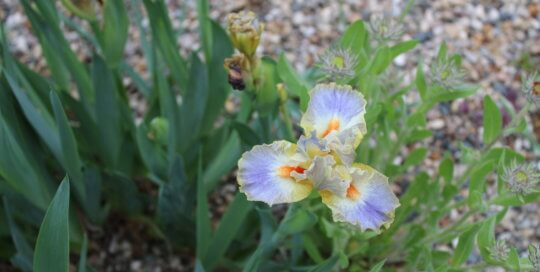 A single iris blooms in beautiful shades of purple and orange in the Dorothy and Max Rutledge Conifer Garden.