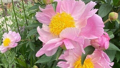 Peonies continued blooming into June along the Koehn Garden path.