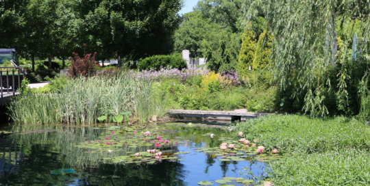 Water lilies and lotuses begin to bloom against the backdrop of the Koehn Garden and Ruan Allée.