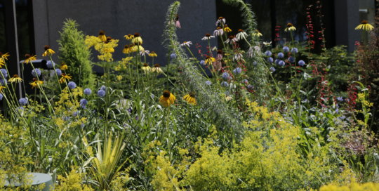 Another look at the Rutledge Conifer Garden's allium and coneflower blooms.
