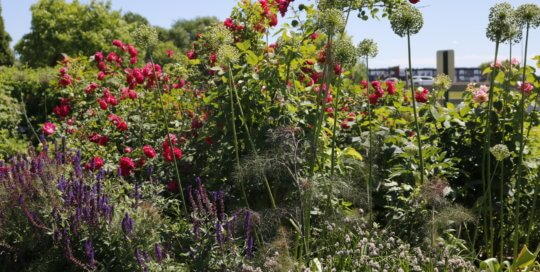Allium seedheads stand tall among the greenery in the Wells Fargo Rose Garden.