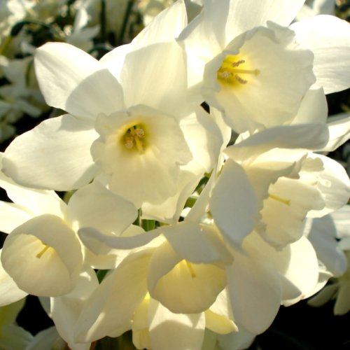 Narcissus 'Starlight Sensation'