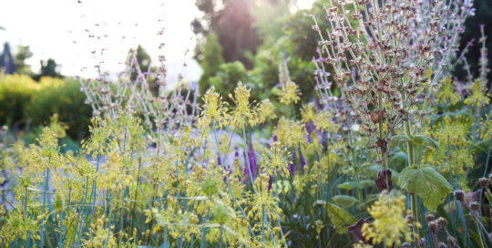 Allium flavum (golden onion) and Salvia sclarea var. turkestanica (clary sage) in the Rutledge Conifer Garden on July 3. Photo by Kelly Norris.