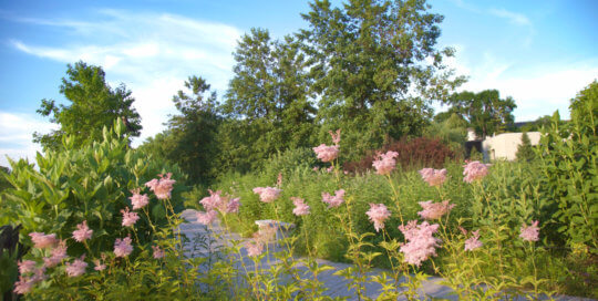Filipendula rubra 'Venusta' (queen of the prairie) forms cotton candy clouds throughout the Lauridsen Savanna. Photo by Kelly Norris, July 3.