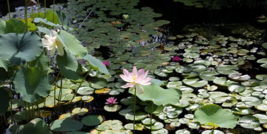 Massive pink lotus blooms unfold in the water garden this month.