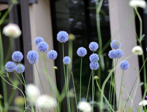 Alliums We Love: 7 Picks for Constant Blooms