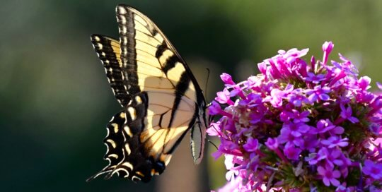 A butterfly visits the ever-popular Phlox 'Jeana' in the Koehn Garden.