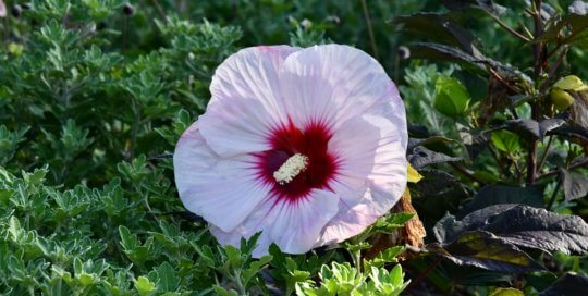 Hibiscus 'Perfect Storm' (Rose Mallow) shows off a massive bloom accented by textured greenery in the Koehn Garden.