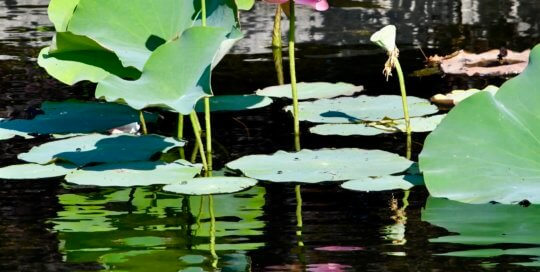 Grand lotus blooms continued to evolve in the water garden throughout August.