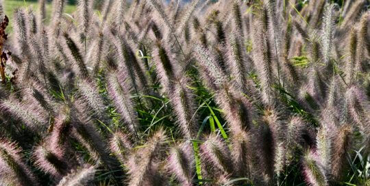 Pennisetum alopecuroides 'Ginger Love' sways in the breeze along the Koehn Garden's walking path.