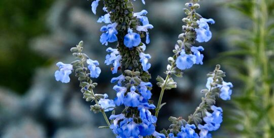 Salvia azurea adds a gorgeous ice-blue color to the early autumn Garden.