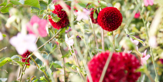 Bold red dahlias demand attention in the October garden. Photo by Kelly Norris.