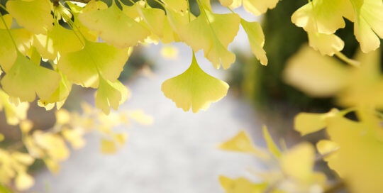 Light filters through Ginkgo biloba (ginkgo) leaves in the Rutledge Conifer Garden. Photo by Kelly Norris.