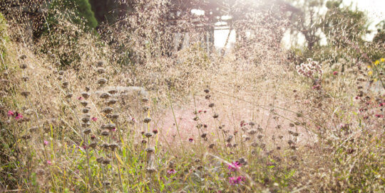 Seedheads hover in Eragrostis trichodes (sand lovegrass) in the Rutledge Conifer Garden. Photo by Kelly Norris.