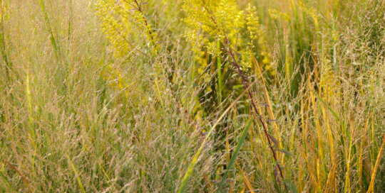 Solidago speciosa (showy goldenrod) and Panicum virgatum 'Northwind' (Northwind switchgrass) combine for a hazy planting. Photo by Kelly Norris.