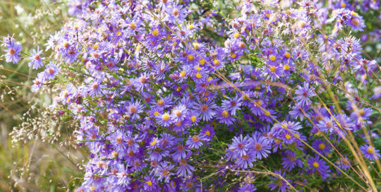 Symphyotrichum laeve 'Bluebird' (Bluebird smooth aster) reflects the stunning afternoon light. Photo by Kelly Norris.