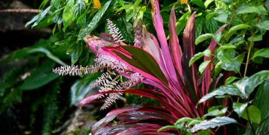 Cordyline fruticosa 'Red Sister' (Red Sister Ti plant) shines against the conservatory greenery.