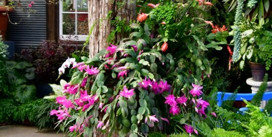A Christmas cactus blooms in gorgeous, eye-catching pink shades inside the Gardeners Show House.